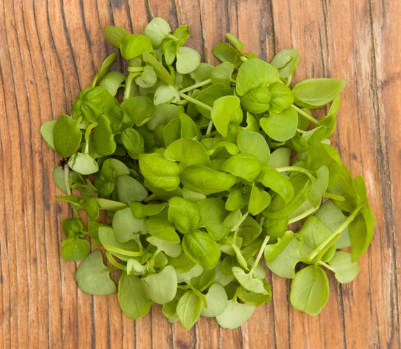 Micro Basil | Ontario Microgreens