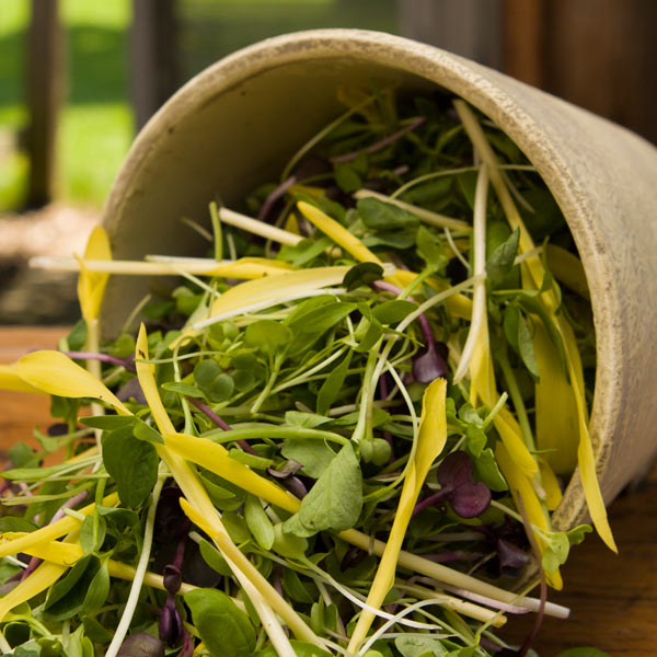 Handling Microgreens | The Herbman